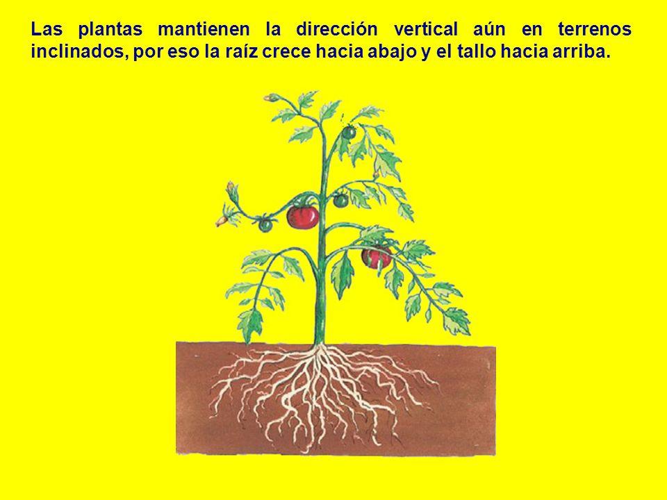 Las plantas mantienen la dirección vertical aún en terrenos inclinados, por eso la raíz crece hacia abajo y el tallo hacia arriba.
