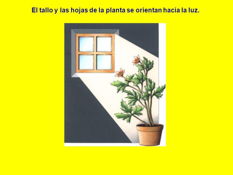 El tallo y las hojas de la planta se orientan hacia la luz.