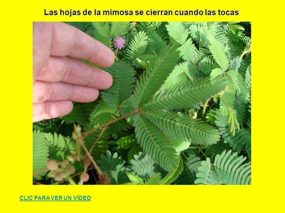 Las hojas de la mimosa se cierran cuando las tocas