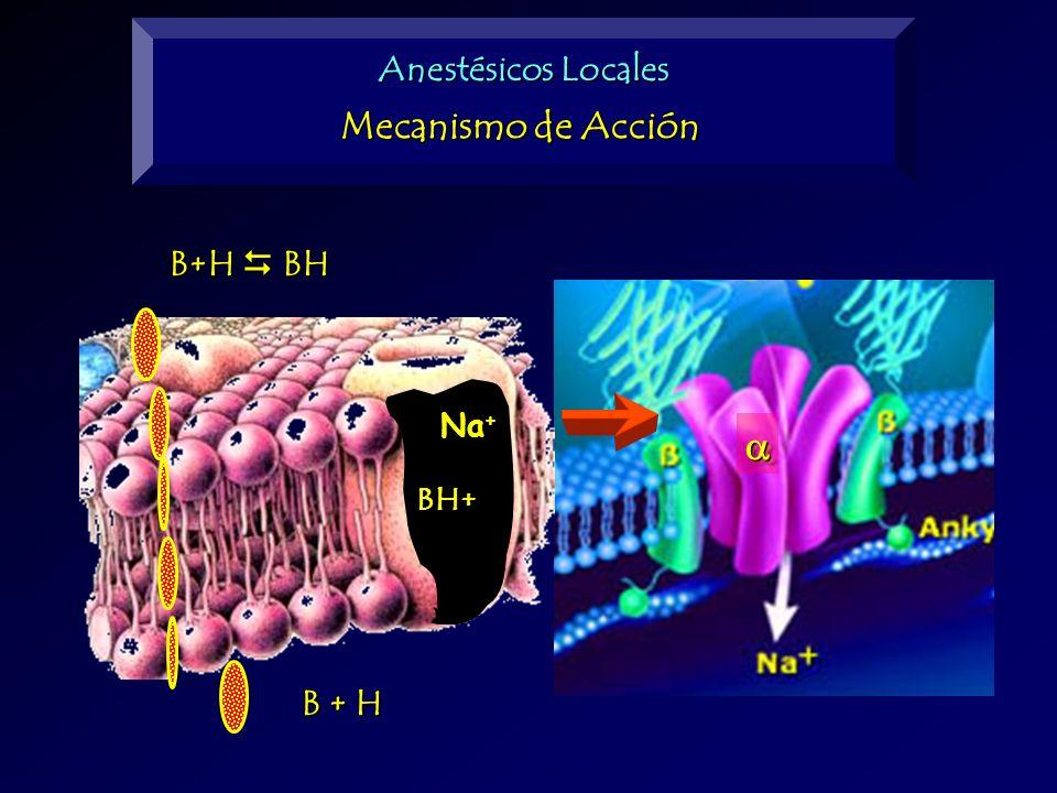 Anestésicos Locales Mecanismo de Acción B+H  BH BH+ Na+ a B + H