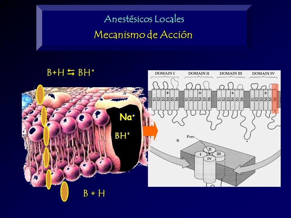 Anestésicos Locales Mecanismo de Acción B+H  BH+ BH+ Na+ B + H