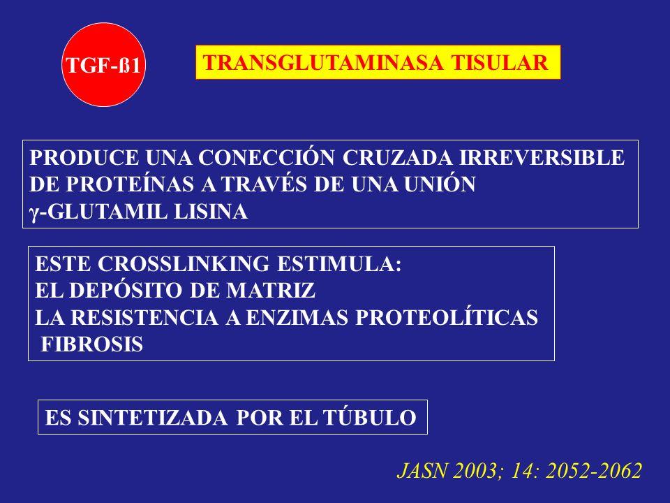 TGF-ß1 TRANSGLUTAMINASA TISULAR. PRODUCE UNA CONECCIÓN CRUZADA IRREVERSIBLE. DE PROTEÍNAS A TRAVÉS DE UNA UNIÓN.