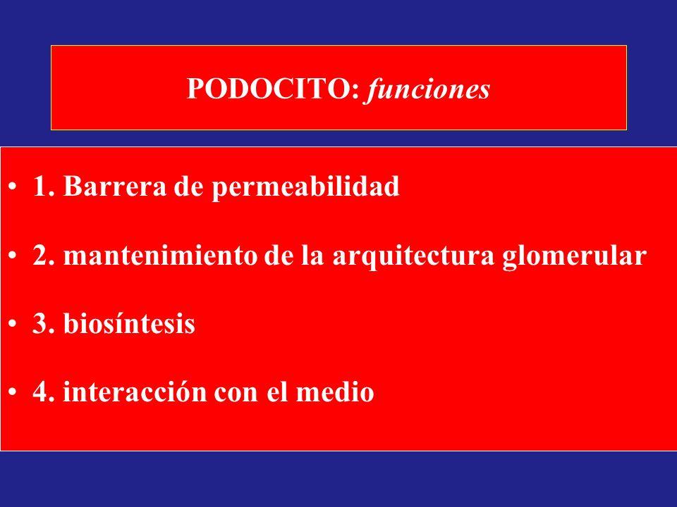 PODOCITO: funciones 1. Barrera de permeabilidad. 2. mantenimiento de la arquitectura glomerular. 3. biosíntesis.