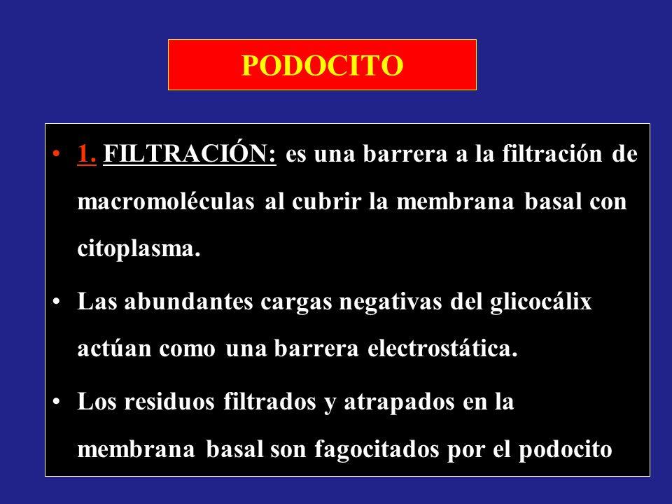 PODOCITO 1. FILTRACIÓN: es una barrera a la filtración de macromoléculas al cubrir la membrana basal con citoplasma.