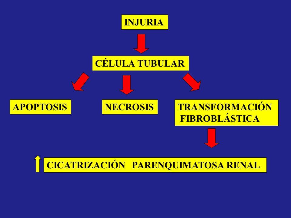 INJURIA CÉLULA TUBULAR. APOPTOSIS. NECROSIS. TRANSFORMACIÓN.