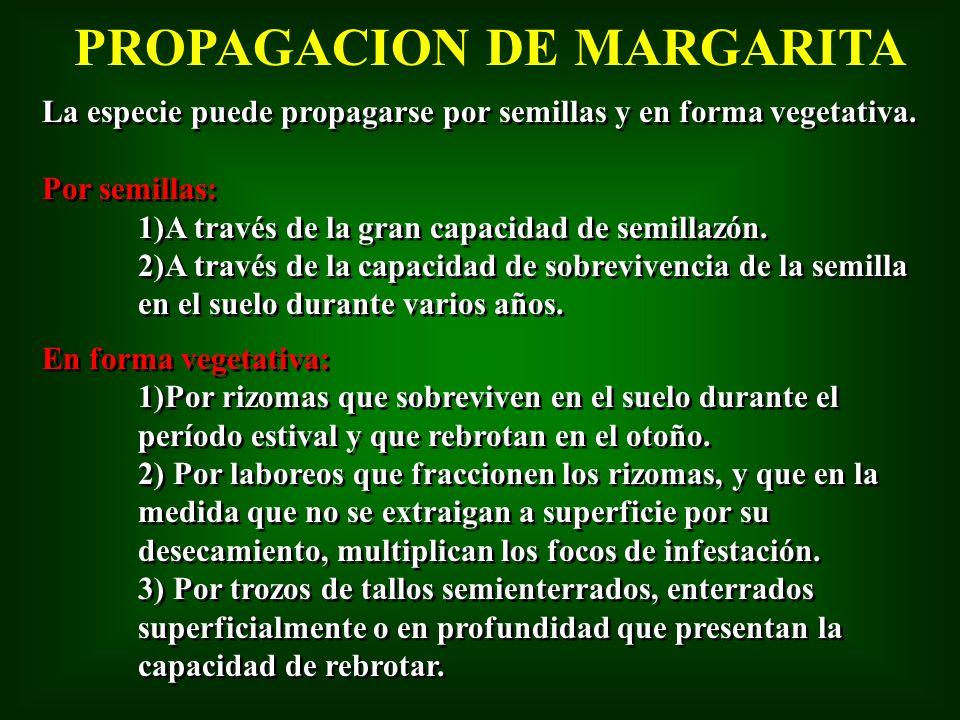 PROPAGACION DE MARGARITA
