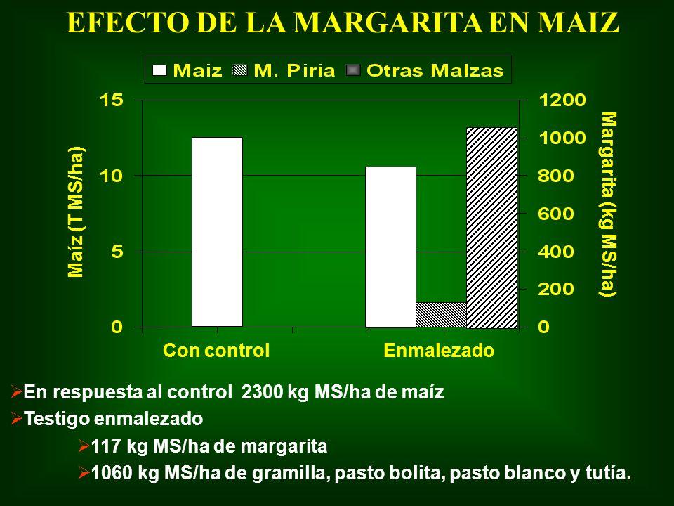 EFECTO DE LA MARGARITA EN MAIZ