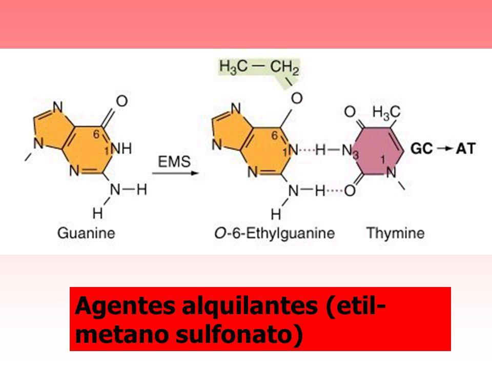 Agentes alquilantes (etil-metano sulfonato)