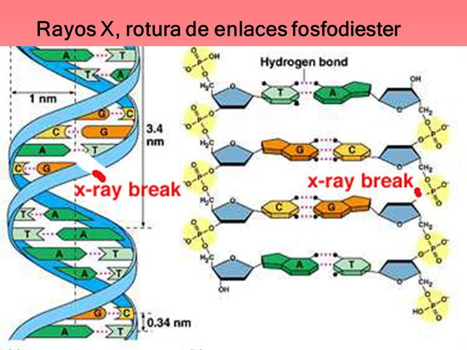 Rayos X, rotura de enlaces fosfodiester