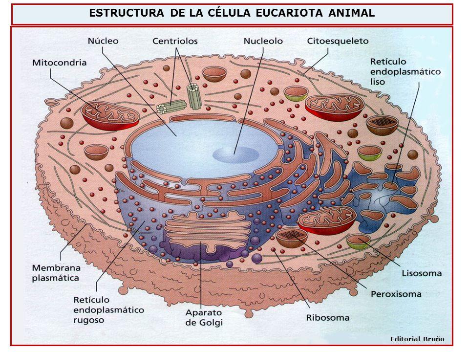 ESTRUCTURA DE LA CÉLULA EUCARIOTA ANIMAL
