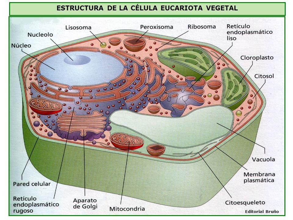 ESTRUCTURA DE LA CÉLULA EUCARIOTA VEGETAL