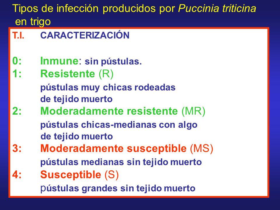 Tipos de infección producidos por Puccinia triticina en trigo