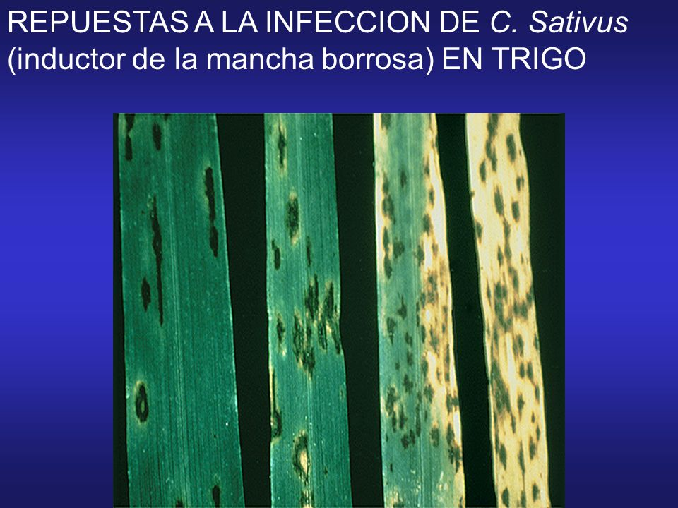 REPUESTAS A LA INFECCION DE C. Sativus