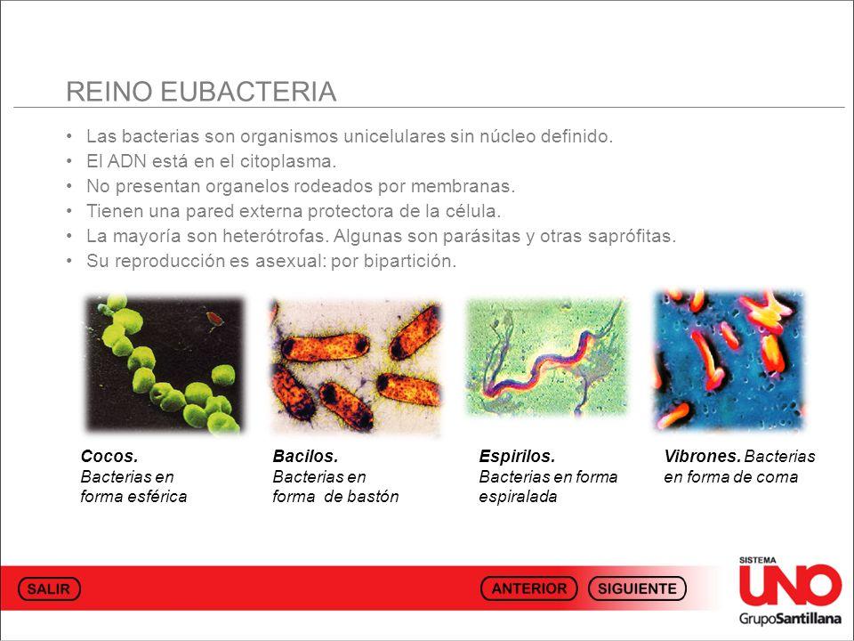 REINO EUBACTERIA • Las bacterias son organismos unicelulares sin núcleo definido. • El ADN está en el citoplasma.
