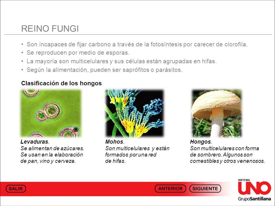 REINO FUNGI • Son incapaces de fijar carbono a través de la fotosíntesis por carecer de clorofila.