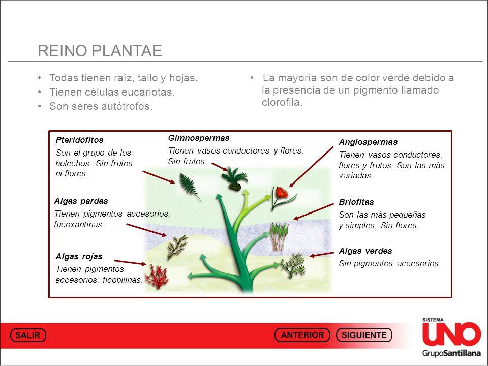 REINO PLANTAE • Todas tienen raíz, tallo y hojas.