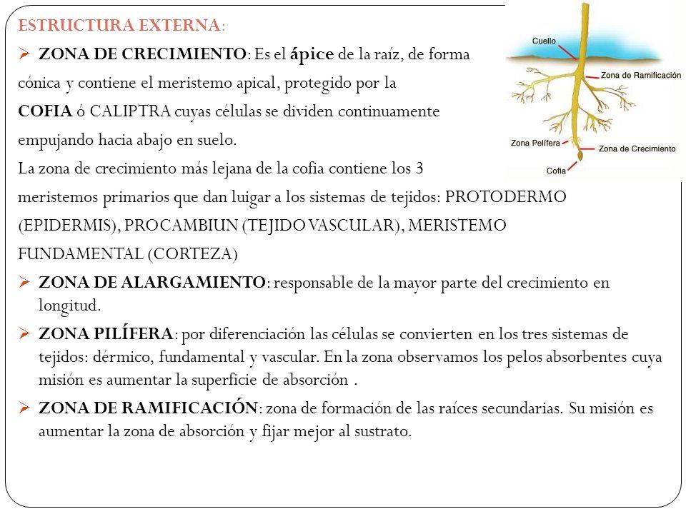 ESTRUCTURA EXTERNA: ZONA DE CRECIMIENTO: Es el ápice de la raíz, de forma. cónica y contiene el meristemo apical, protegido por la.