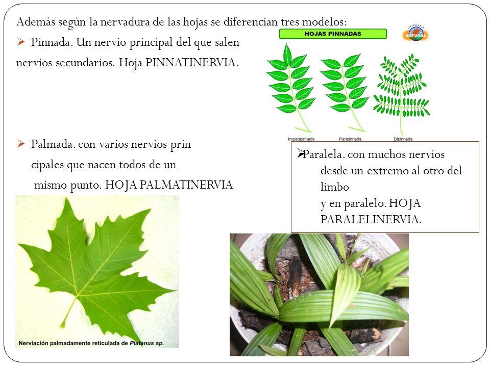 Además según la nervadura de las hojas se diferencian tres modelos: