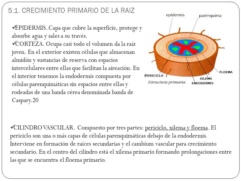 5.1. CRECIMIENTO PRIMARIO DE LA RAIZ