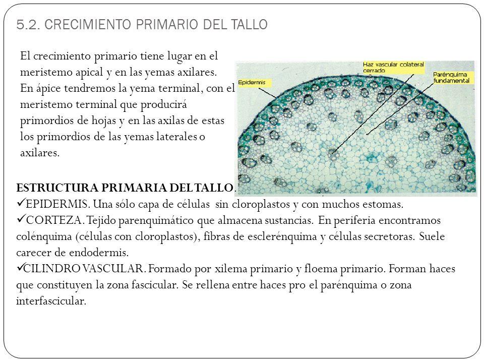 5.2. CRECIMIENTO PRIMARIO DEL TALLO