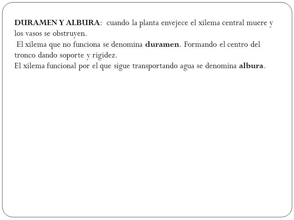 DURAMEN Y ALBURA: cuando la planta envejece el xilema central muere y los vasos se obstruyen.
