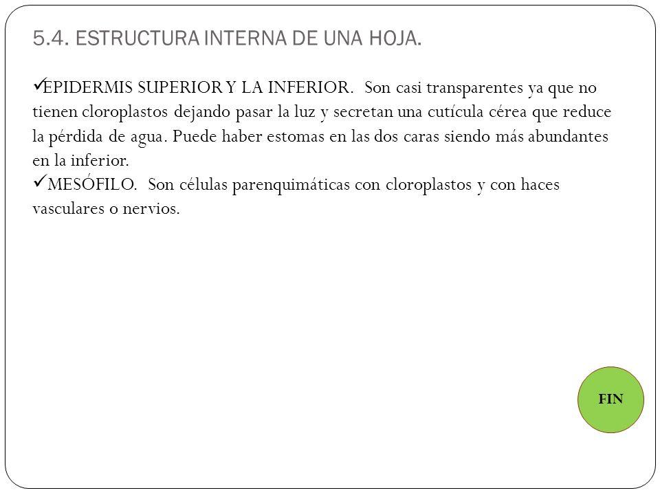 5.4. ESTRUCTURA INTERNA DE UNA HOJA.