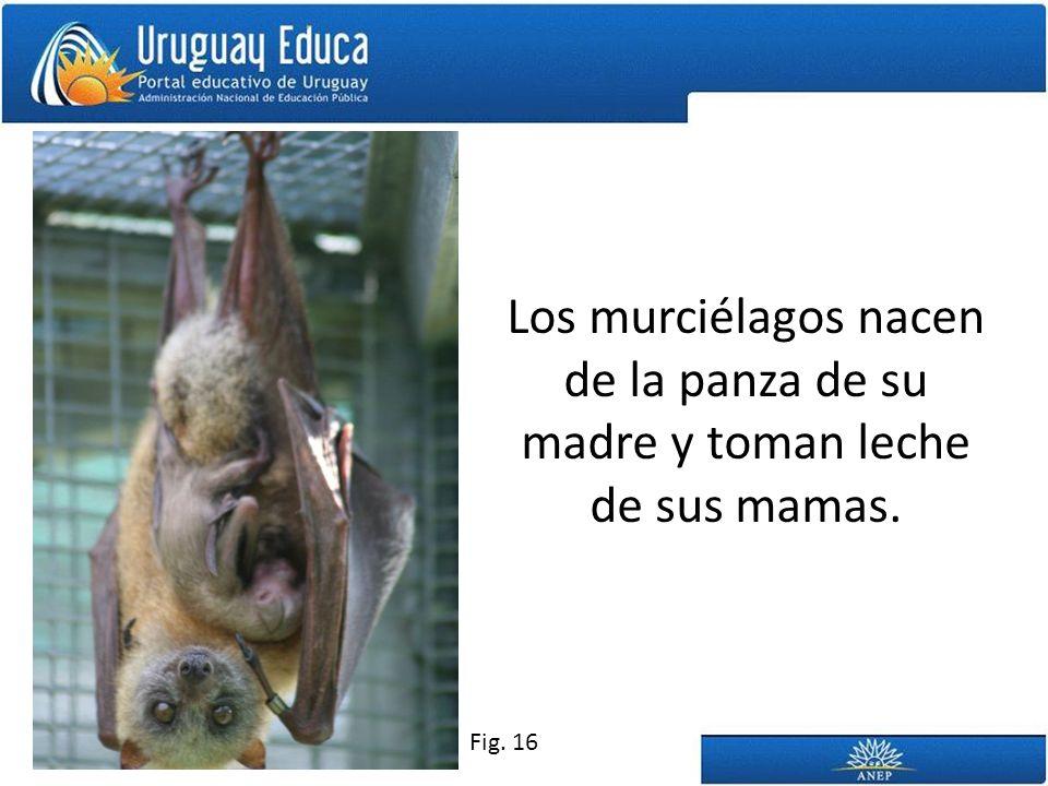 Los murciélagos nacen de la panza de su madre y toman leche de sus mamas.