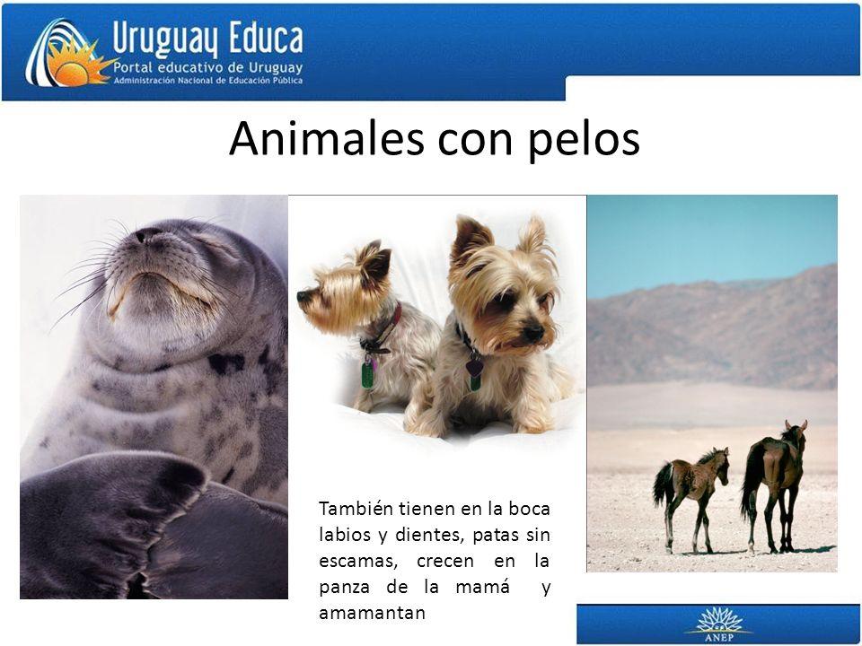 Animales con pelos También tienen en la boca labios y dientes, patas sin escamas, crecen en la panza de la mamá y amamantan.