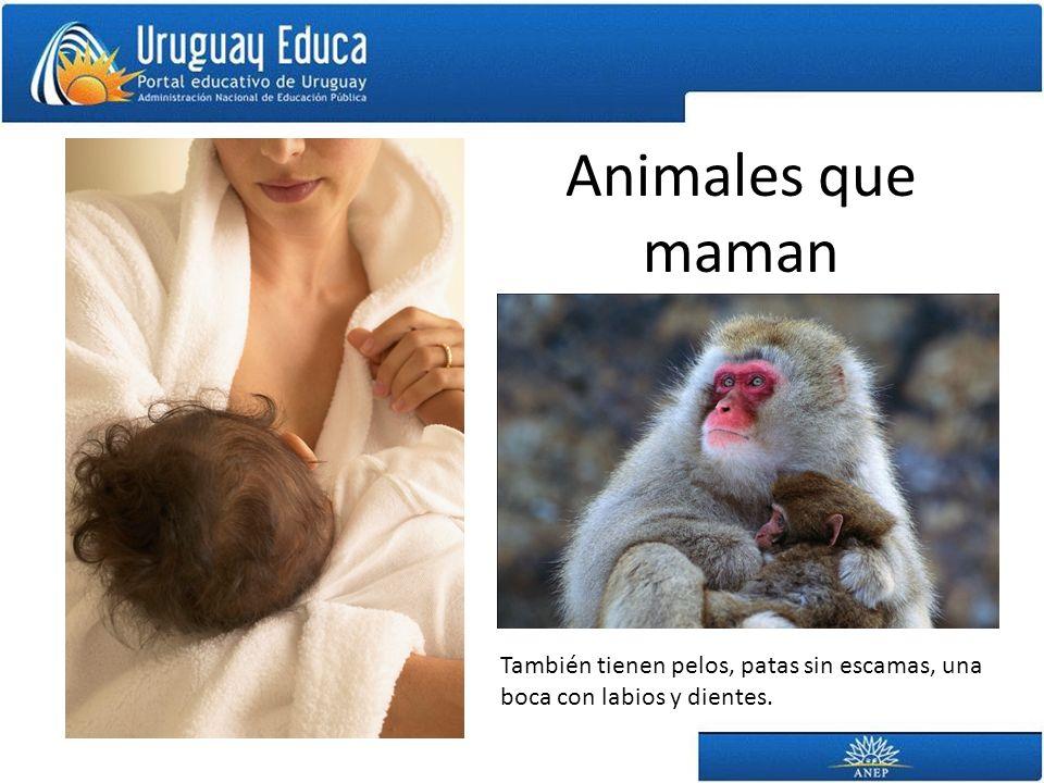 Animales que maman También tienen pelos, patas sin escamas, una boca con labios y dientes.