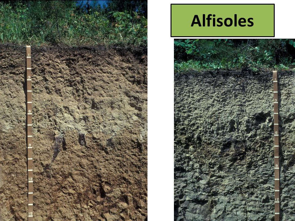 Alfisoles Alfisoles