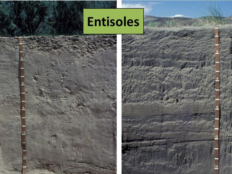 Entisoles