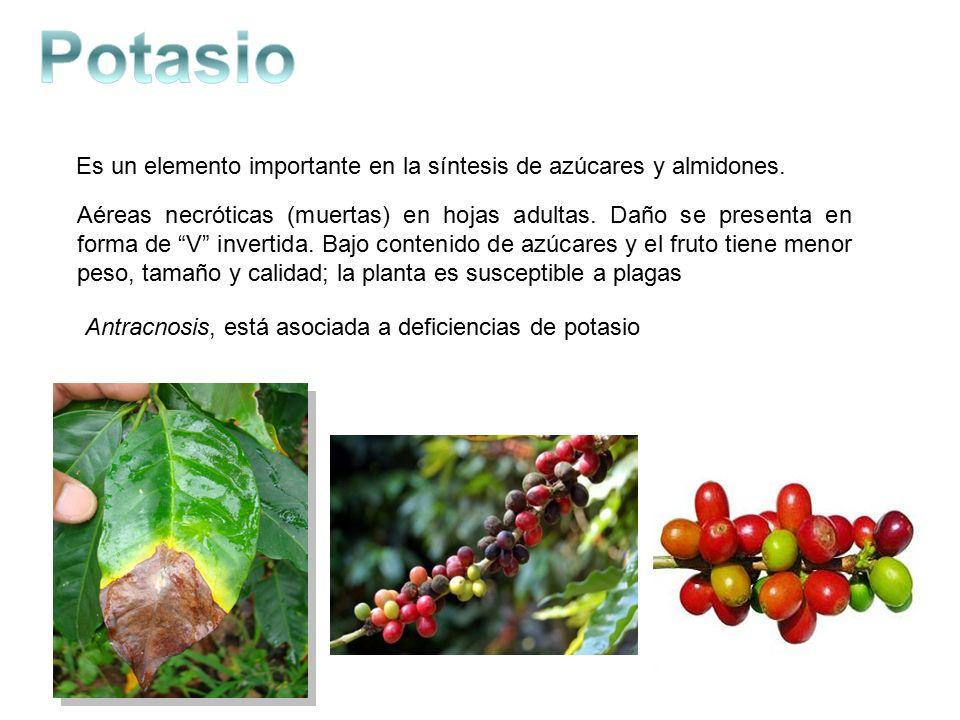 Nutrici n foliar en el cultivo de caf bienvenidos edgard for Potasio para plantas