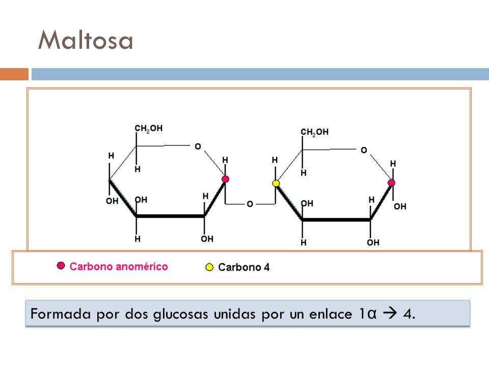 Maltosa Formada por dos glucosas unidas por un enlace 1α  4.