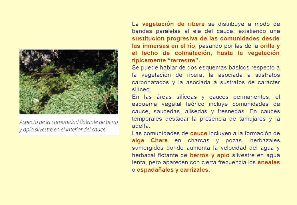 La vegetación de ribera se distribuye a modo de bandas paralelas al eje del cauce, existiendo una sustitución progresiva de las comunidades desde las inmersas en el río, pasando por las de la orilla y el lecho de colmatación, hasta la vegetación típicamente terrestre .