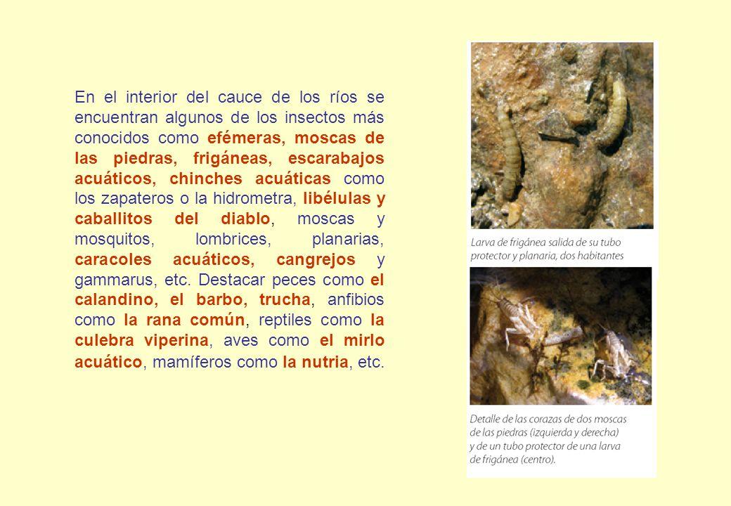 En el interior del cauce de los ríos se encuentran algunos de los insectos más conocidos como efémeras, moscas de las piedras, frigáneas, escarabajos acuáticos, chinches acuáticas como los zapateros o la hidrometra, libélulas y caballitos del diablo, moscas y mosquitos, lombrices, planarias, caracoles acuáticos, cangrejos y gammarus, etc.