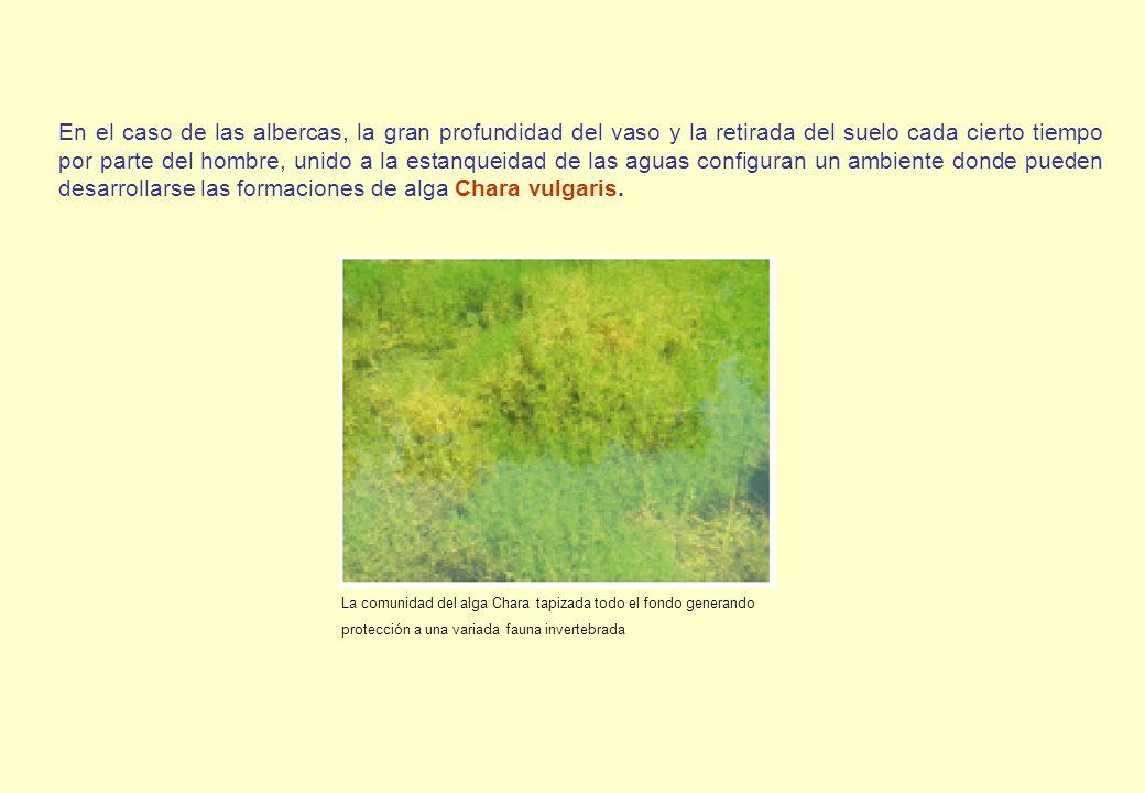 En el caso de las albercas, la gran profundidad del vaso y la retirada del suelo cada cierto tiempo por parte del hombre, unido a la estanqueidad de las aguas configuran un ambiente donde pueden desarrollarse las formaciones de alga Chara vulgaris.
