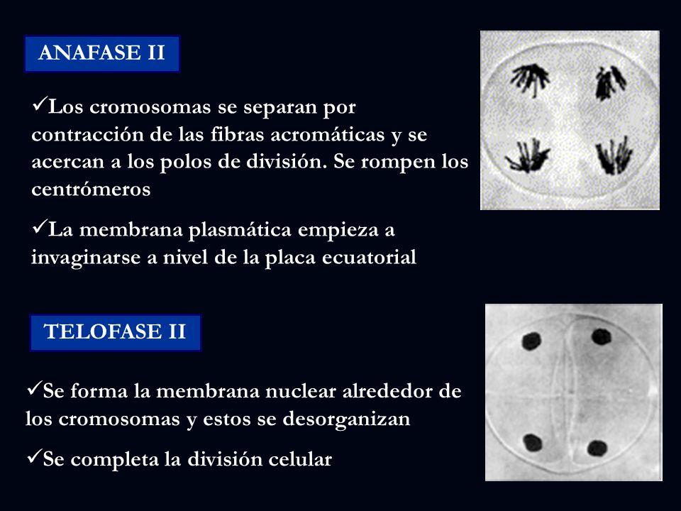 Reproducci n celular mitosis meiosis ppt descargar for Los nietos se separan