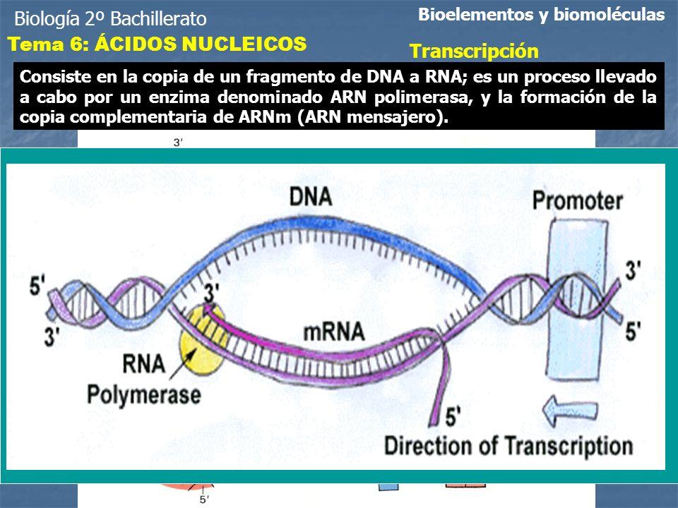 Biología 2º Bachillerato Tema 6: ÁCIDOS NUCLEICOS Transcripción