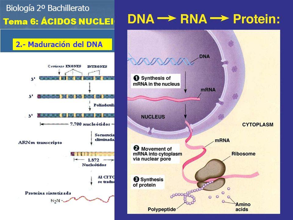 EXONES E INTRONES Biología 2º Bachillerato Tema 6: ÁCIDOS NUCLEICOS