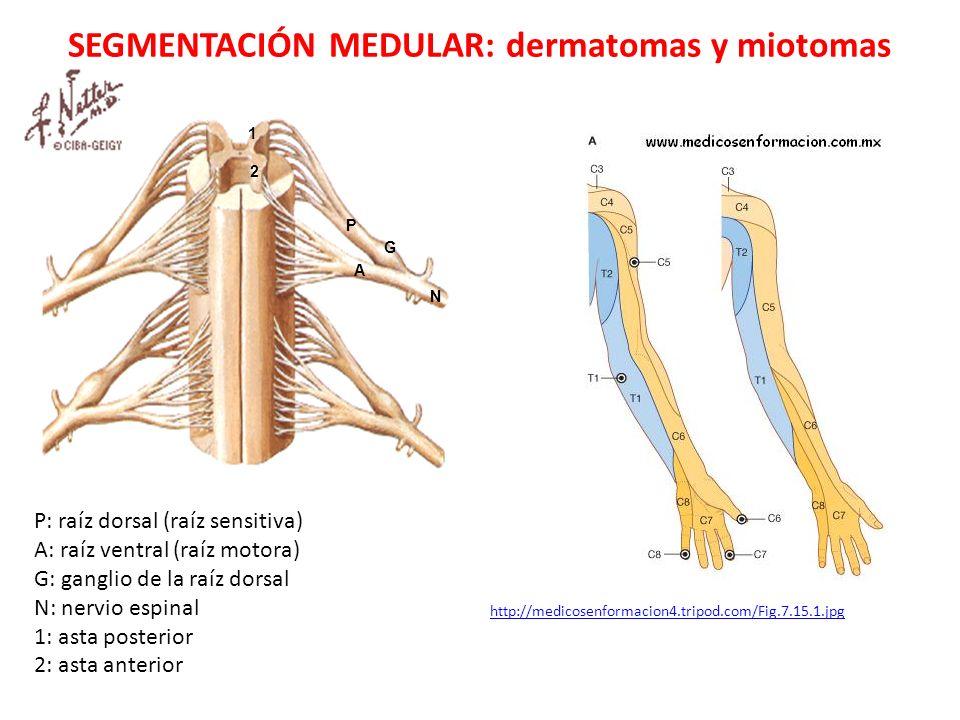 SEGMENTACIÓN MEDULAR: dermatomas y miotomas