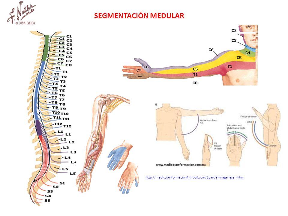SEGMENTACIÓN MEDULAR http://medicosenformacion4.tripod.com/1parcialimagenesah.htm