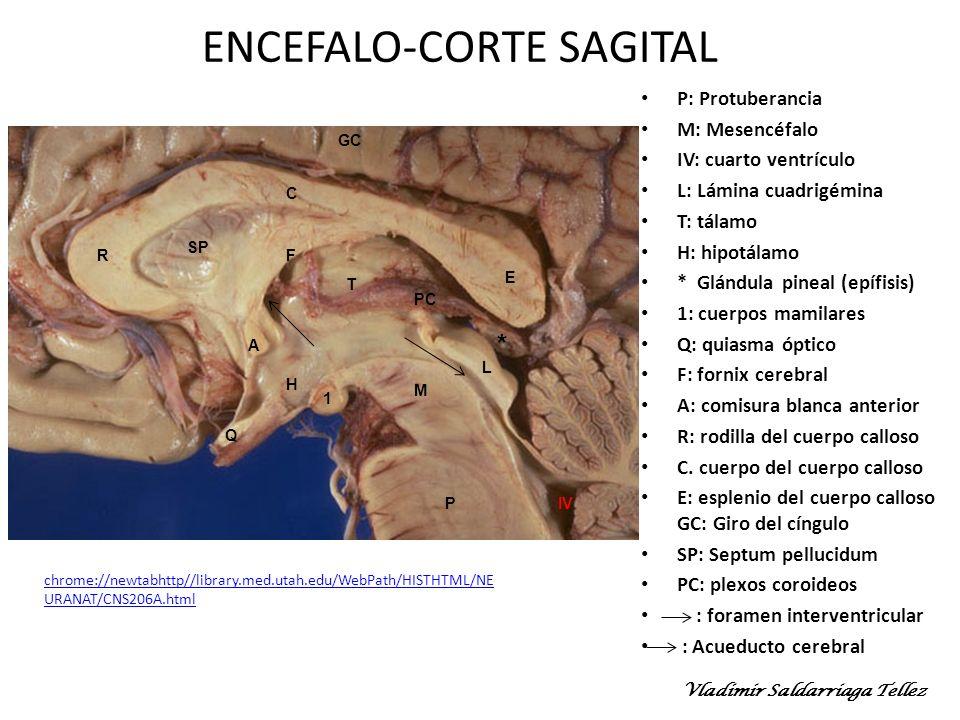 ENCEFALO-CORTE SAGITAL