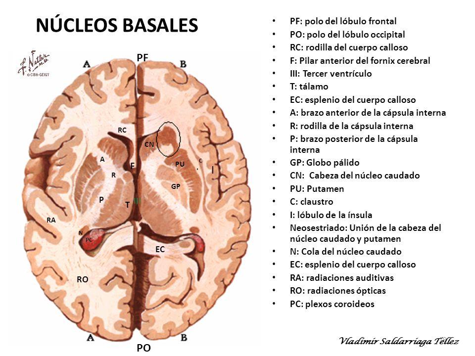 NÚCLEOS BASALES F PF I PO PF: polo del lóbulo frontal