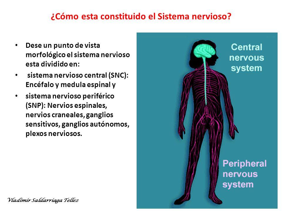 ¿Cómo esta constituido el Sistema nervioso