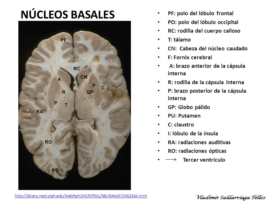 NÚCLEOS BASALES PF: polo del lóbulo frontal