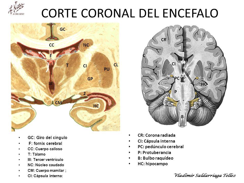 CORTE CORONAL DEL ENCEFALO