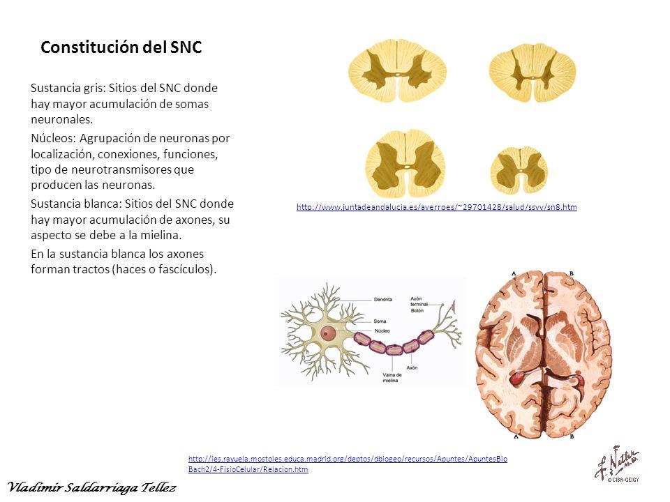 Constitución del SNC Sustancia gris: Sitios del SNC donde hay mayor acumulación de somas neuronales.