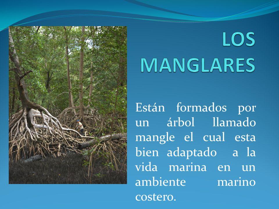 LOS MANGLARES Están formados por un árbol llamado mangle el cual esta bien adaptado a la vida marina en un ambiente marino costero.