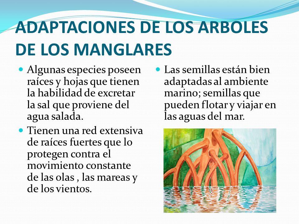 ADAPTACIONES DE LOS ARBOLES DE LOS MANGLARES