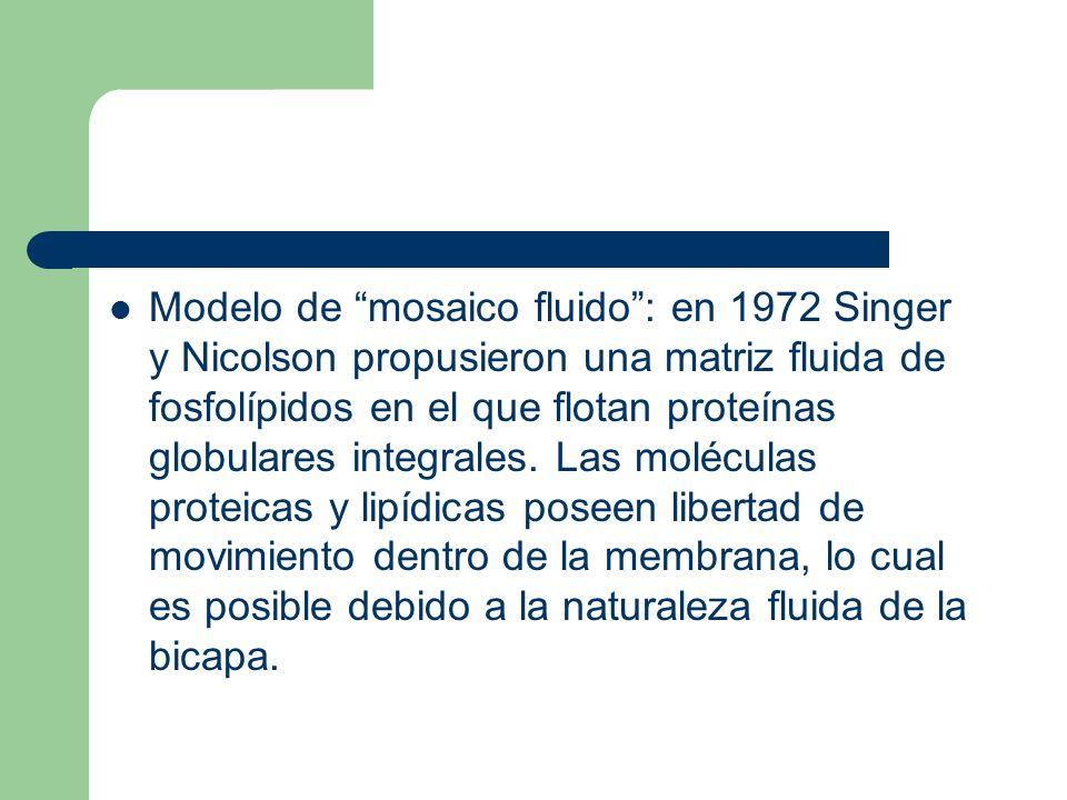 Modelo de mosaico fluido : en 1972 Singer y Nicolson propusieron una matriz fluida de fosfolípidos en el que flotan proteínas globulares integrales.